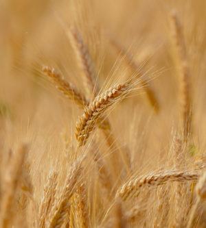 Getreideerzeugnisse